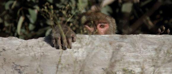 baboon_raid